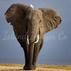 Amboseli Lone Ranger