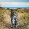 Baby leopard cub low angle