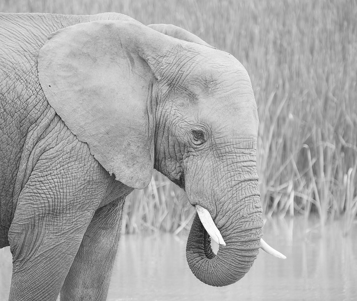 Elephant (black and white), Addo Elephant National Park, South Africa