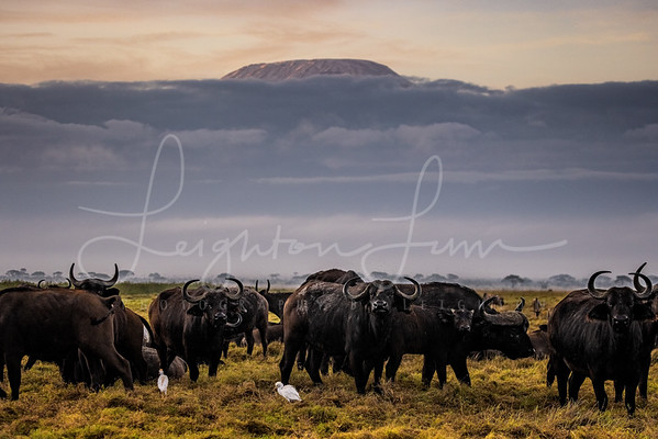 Buffalo Mt Kilimanjaro sunrise