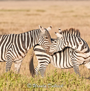 Nose to Nose - Zebras, Masai Mara, Kenya