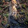 Serval cat kittens 3