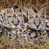 Serval Cat mom and kitten 2