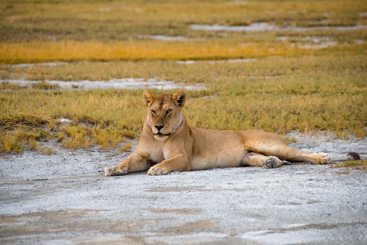Lioness 8933