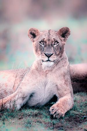 Dreamy Lioness book