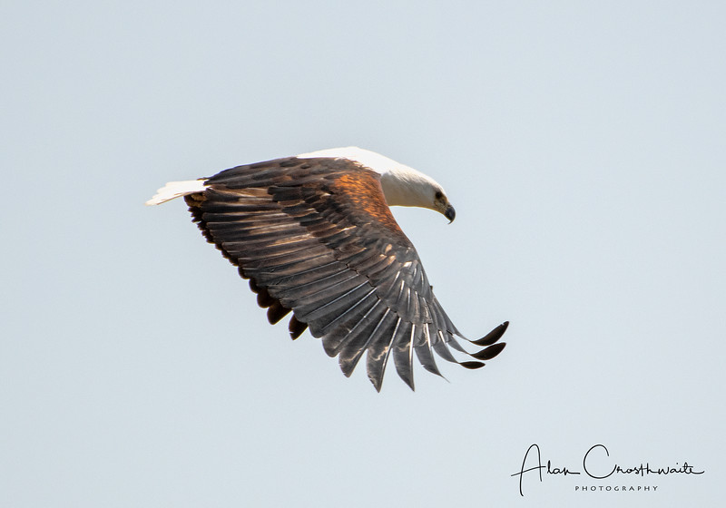 Fish eagle with wings stretched