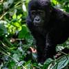 Baby Gorilla-2
