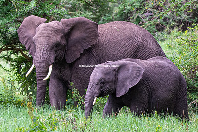 Two Elephants in Ngorongoro Crater