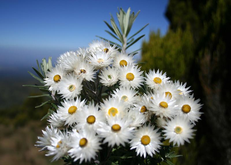 Mount Kenya Flora