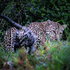 Leopards together 2