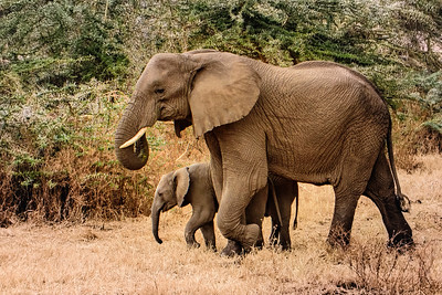 elephant and calf 7575