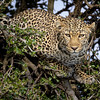 Mother leopard in a tree-2