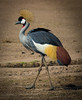 Crowned crane.  S Luangwa National Park