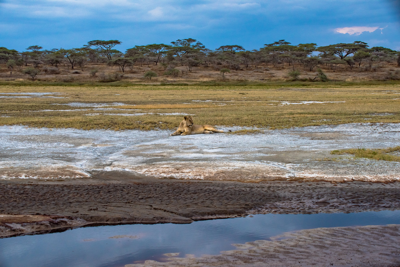 Lioness on the Riverbed