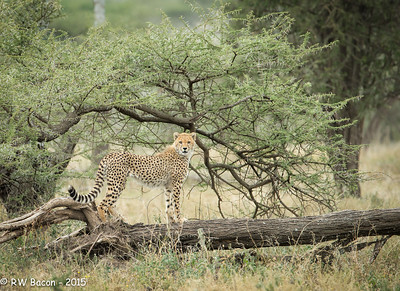 Cheetah Juvie on a Tree -2