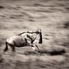 Wildebbeast in motion