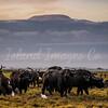 Buffalo Mt Kilimanjaro sunrise