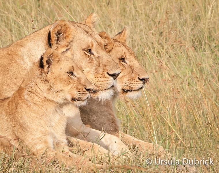 Lions in a Pride - Kenya