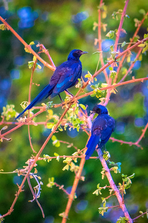Long tailed Starling.  S Luangwa National Park