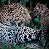 Mom and cub leopards 2