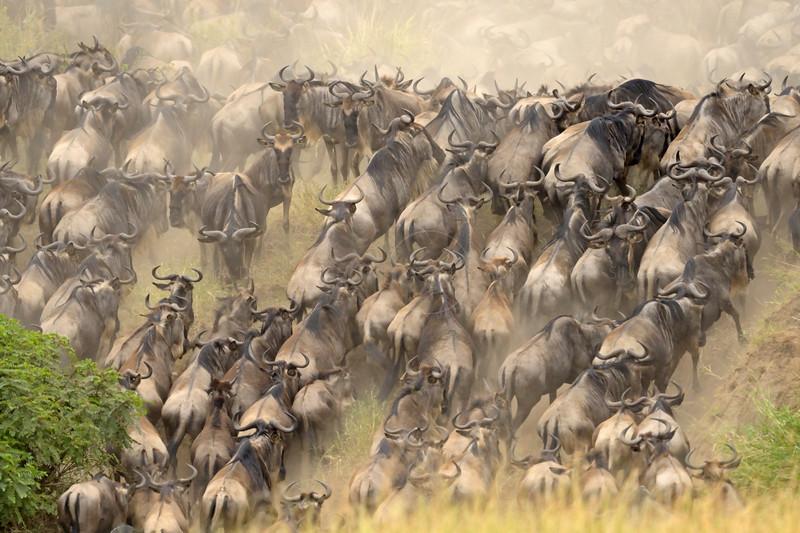 Wildebeests during migration