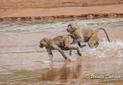Baboon Chase