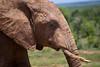 Elephant at Addo
