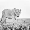 Female lion bwn