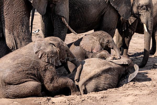 Baby Elephant Chobe