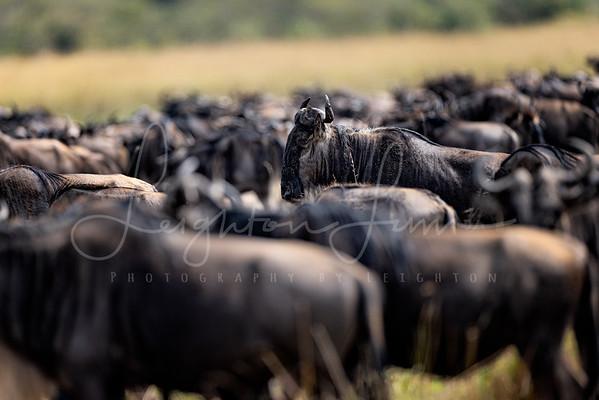 So Many Wildebeest