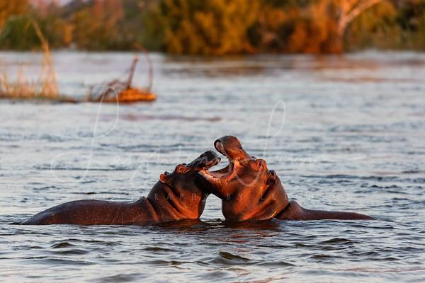 Sunset Hippos