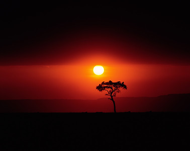 Kenya, Masai Mara National Reserve / Sunset behind silhouetted Acacia, Egyptica baratites, with vultures roosting at top.   804H2
