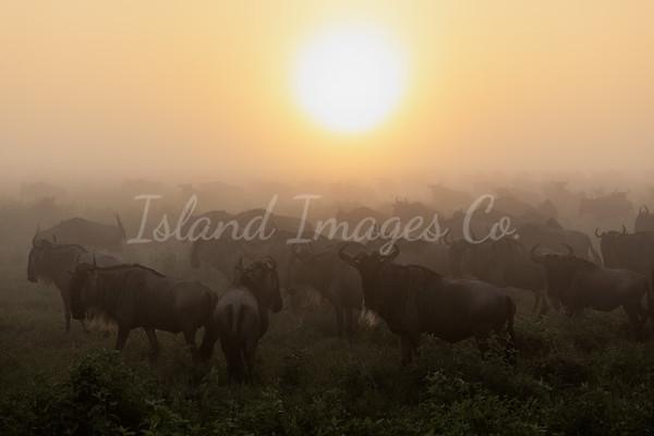 Wildebeest for Days