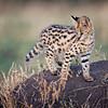 Mara serval cat