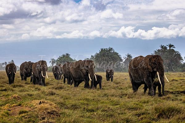 The Herd is Coming