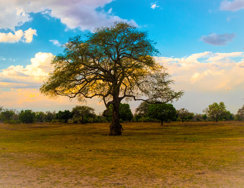 Dreaming Tree.  South Luangwa National Park, Zambia