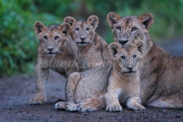 Lake Nakuru lions 4