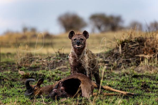 Laughong Hyena