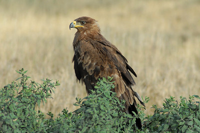 Tawny Eagle Tanzania 2008