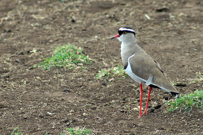 Crowned Plover Tanzania 2008