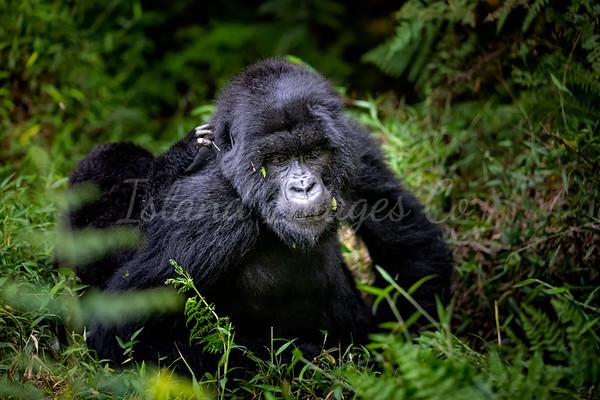 Mountain Gorillas in Uganda 2