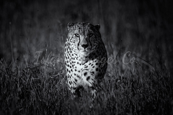 Cheetah Blk and White