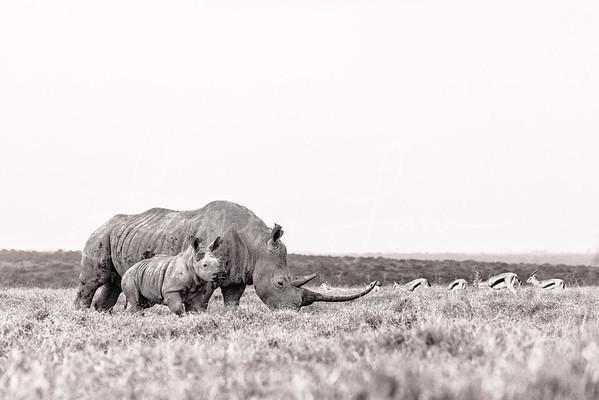 Mom and baby white rhino bnw