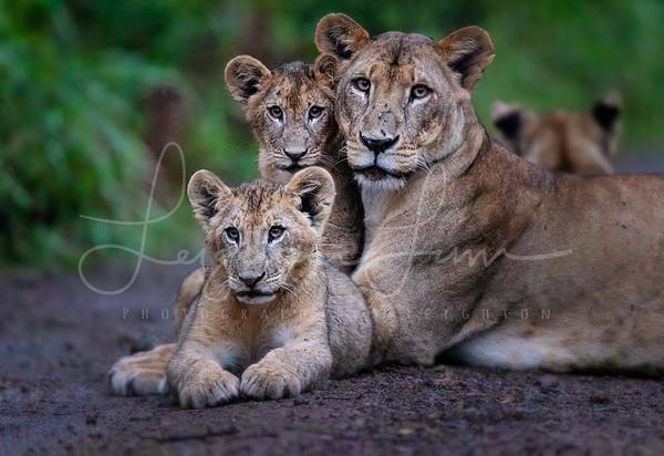 Lake Nakuru lions 2
