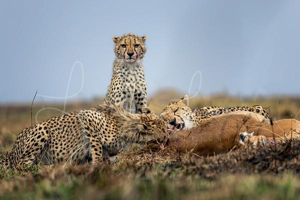 Cheetah family meal