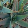 Aloe Plant, South Africa