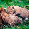Playing cubs 2
