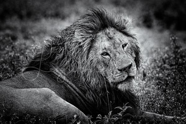 Moody Lion BNW