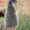 [Captive Animal] Meerkat at rehab facility, South Africa