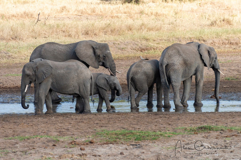 Elephants in the small stream